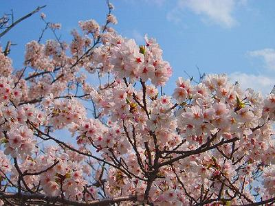 cherry-blossoms-2185003__340.jpg