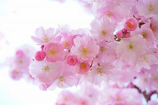 japanese-cherry-trees-324175__340.jpg